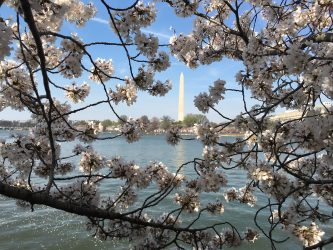 cherry blossom, washington dc, bloom, spring