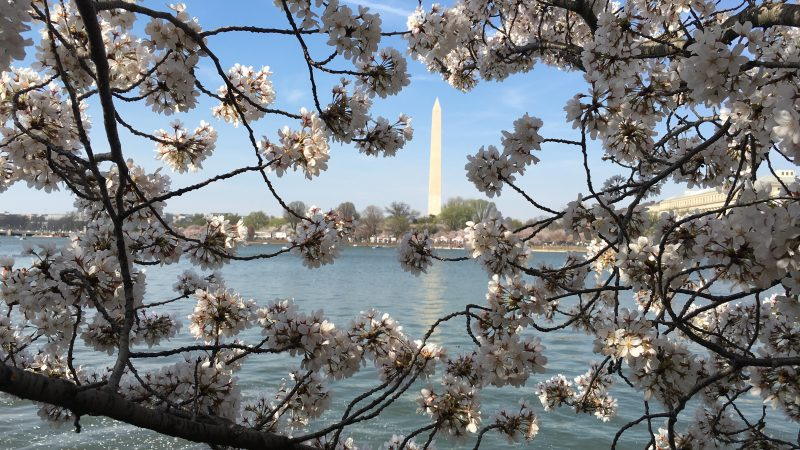 cherry blossoms, washington dc, bloom, spring
