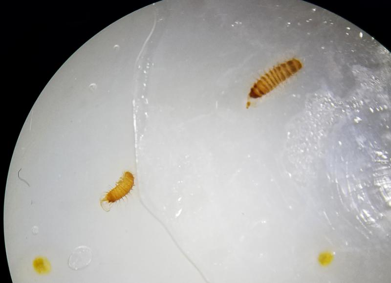 invasive pests
