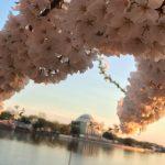 Cherry Blossom Festival Blossom Washington DC Tidal Basin